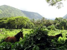 Wild horses in Waipio Valley - Hawaii Just one of the reasons I loved it there so much.