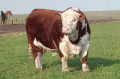 TORO HEREFORD 1 Farm Animals, Animals And Pets, Hereford Cattle, Bull Cow, Show Cattle, Beef Cattle, Charro, Bull Riders, Labrador Retriever Dog
