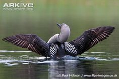 flying loon - Google Search