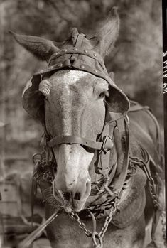 Walker Evans Work Mule: 1935.This photograph is very captivating due to the fact that he photographed a horse the way humans would be photographed in a self portrait way. It shows that not only humans are going through hardships but also their animals.