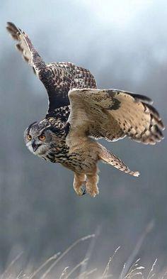Eagle Owl // En vol -