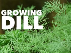 One of the most popular and useful kitchen herbs to grow in the home garden is dill. Both the plant and its seeds are useful for a variety of kitchen uses and recipes. Growing the herb is easy as well! Best Soil to Grow Dill As with any successful planting, start with good soil. Most …