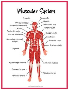 Muscular System Labeled, Human Muscular System, Muscular System Anatomy, Muscle Groups To Workout, Body Muscle Anatomy, Quadriceps Femoris, Peroneus Longus, Human Body Muscles, Human Body Structure