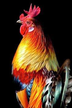 Coq gauloise dorée