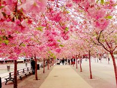 Gorgeous spring pink trees
