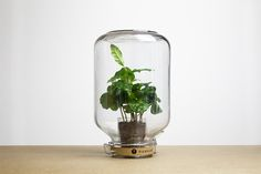 Pikaplant Jar Coffea No-maintenance Indoor Plant