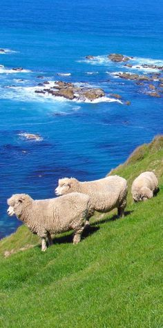 New Zealand's sheep population peaked out in the year 1982 at million. At that time, the total human population of both North and South Islands of New Zealand was million. That works out to 22 sheep per person. Visit New Zealand, New Zealand Travel, Nature Sauvage, In Natura, Kiwiana, Tier Fotos, Mundo Animal, South Island, Auckland