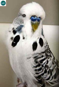 https://www.facebook.com/pages/THI%C3%8AN-NHI%C3%8AN-K%E1%BB%B2-TH%C3%9A/171150349611448?ref=hl Yến phụng/Vẹt Hồng Kông/Vẹt đuôi dài châu Úc } Budgerigar/Budgie/Shell parakeet (Melopsittacus undulatus)(Psittaculidae)(Melopsittacus) IUCN Red List of Threatened Species 3.1 : Least Concern (LC) | (Loài ít quan tâm)