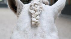 Hoe vlecht je de voorpluk van je paard mooi in? Dat kan op verschillende manieren. Ellen Schuthof laat je zien hoe je dat op chique manier kunt doen: Volgende week zie je het laatste deel, het invlechten van de staart.…
