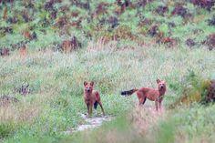 Conservation India » Dholes near Karkala, Kudremukh