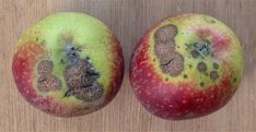 It is possible to have an organic fruit tree orchard. Read about some of the most common fungal issues and how to practice organic disease control. Organic Fruit Trees, Apple Fruit, Tree Care, Apple Tree, Pest Control, Flora, Gardening, Bro, Apple