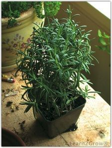 Rosemary is a perennial botanically known as Rosmarinus officinalis. It's best propagated by cuttings. 'Blue Boy' is a compact variety, reaching only 24 inches. If you want to keep your rosemary healthy, don't mist it.