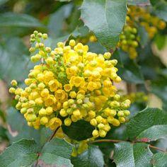 El extracto de corteza de mahonia es un ingrediente de pomadas para tratar afecciones de la piel.