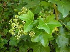 x fatshedera lizei - Google Search Herbs, Google Search, Plants, Herb, Plant, Planting, Planets