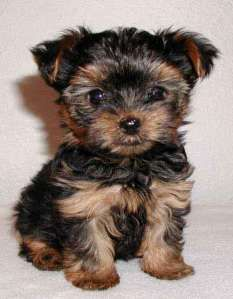 """That can't be a real puppy - it's too small to be a real puppy!"" not...a friend has a full grown yorkie about this big...I want one!"