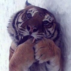 Sabias que... La orina de los tigres huele a palomitas de maíz  Este hecho es muy simpático y juro que no es broma: la orina de los tigres huele a palomitas de maíz. Dichos felinos son muy territoriales y marcan sus espacios a través de la orina, que casualmente huele a este alimento. Así que ya sabes, si estás en la espesura selvática y sientes un agradable olor a palomitas con mantequilla, te aconsejo que salgas huyendo sin mirar atrás: un tigre anda cerca, ¡y estás en su territorio!