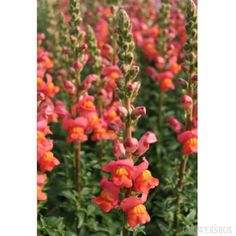 GrowersBox.com: Flowers: Orange Snapdragons 100 Stems: Wholesale Flowers