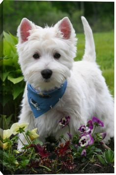 West Highland White Terrier. Inspiration for Halley in Model Under Cover. #ModelUnderCover