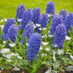 Die blaue Hyazinthe 'Blue Jacket' kombiniert mit der weißen Anemone blanda 'White Splendour'. Pflanzzeit ist im Herbst - online erhältlich bei www.fluwel.de