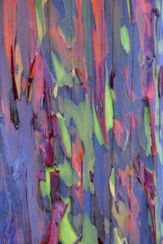 Eucalipto #cortecce #tronchi #alberi #natura