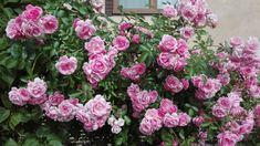 Pár rajčinových listov len odtrhnite a zalejte: Po tomto elixíre ruže kvitnú ako o závod a na problém so škodcami môžete zabudnúť!