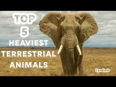 The Top 5 Heaviest Terrestrial Animals in the World - YouTube Animals Of The World, Elephant, Youtube, Top, Elephants, Youtubers, Crop Shirt, Shirts, Youtube Movies