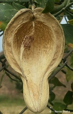 Beautiful Seed Pods. . Captured by © ~ Renier Botha .... in Koppies Town. .. Freestate  ... South Africa