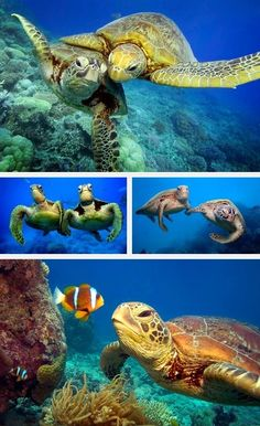 Sea turtles, the best friends a clown-fish can have                                                                                                                                                      More