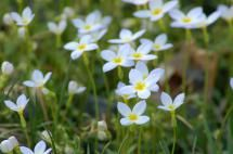 17 Native Perennial Flowers for Sunny Areas: Azure Bluets