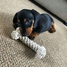 puppies dachshund puppies dachshund ` puppies dachshund mini ` puppies dachshund long hair ` puppies dachshund dapple ` puppies dachshund videos ` dachshund puppies for sale ` miniature dachshund puppies ` dachshund puppies long haired Cute Dogs And Puppies, I Love Dogs, Doxie Puppies, Miniature Dachshund Puppies, Funny Puppies, Puppy Love, Cute Baby Animals, Funny Animals, Dachshund Love
