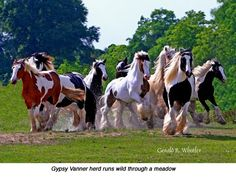 Beautiful Gypsy Vanner herd