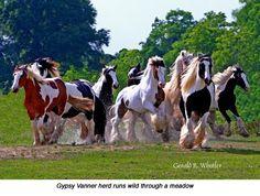 Beautiful Gypsy Vanner herd