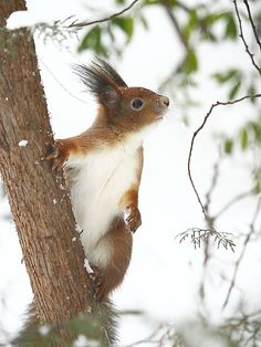 """Mrs. Squirrel: """"My dear 'Silas' will you hurry along with the nuts please?!"""""""