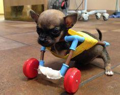 Chihuahua con due zampe cammina grazie ad un nuovo set di ruote
