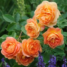 Lady of Shallott from David Austin Roses. {Request a catalog, it is a feast for the eyes if you adore roses}