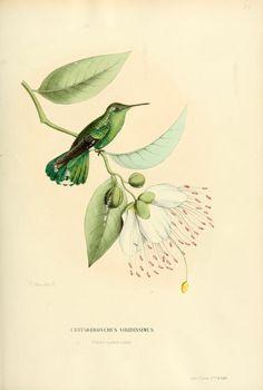 Green-tailed goldenthroat, South America. Histoire naturelle des oiseaux-mouches, ou, Colibris constituant la famille des trochilidés, Martial Étienn Mulsant, 1874.
