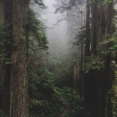A small trail leads into the foggy Del Norte forest. (by kevinrussmobile)