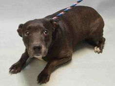 JULISSA – A1077359 FEMALE, BLACK, AM PIT BULL TER, 10 yrs STRAY – STRAY WAIT, HOLD FOR ID Reason STRAY Intake condition GERIATRIC Intake Date 06/13/2016, From NY 11208, DueOut Date06/16/2016