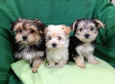 Adorable Morkie (Maltese / Yorkie) Puppies