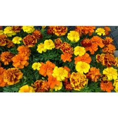 Marigold 'French Dwarf Double Mix' Seeds | Garden Hoard – Hand Harvested Heirloom Seeds