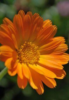 Flores comestibles: seleccion y elaboracion - Flores comestibles: recetas
