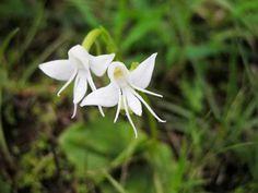(Peristeria Elata) Holy Ghost Orchid