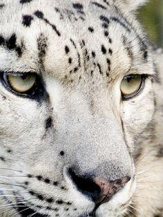 snow leopard up close