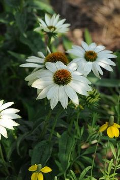 PowWow white coneflower is a wonderful addition to any yard or garden. These flowers bloom from spring to fall and are easy to care for when placed in full sun. You will be picking these flowers and giving them to loved ones in no time.