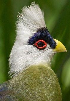 White-Crested Turaco | White-crested Turaco | Animals: Aves | Pinterest