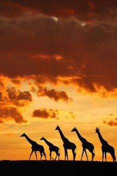 5 giraffes by Muriel Vekemans Sunset in the Masai Mara, Kenya Wildlife Photography, Animal Photography, Beautiful Creatures, Animals Beautiful, Animals And Pets, Cute Animals, African Sunset, Image Nature, Okapi