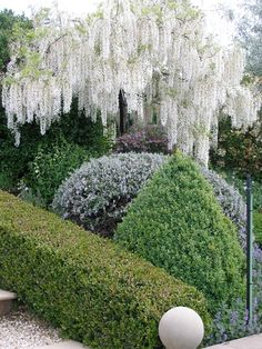 white weeping wisteria standard - Google Search