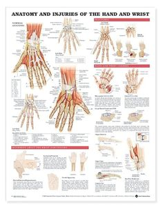 Buy medical educational anatomy posters and anatomical models for, Acupuncture,Chiropractic,Veterinary and more. Thousands  to choose from. Ships Fast.