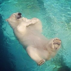 When polar bears are in a good mood, they like to float on the surface of water.