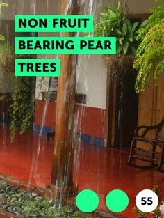 Non Fruit Bearing Pear Trees. Non-fruit bearing pear trees are commonly referred to as flowering pear trees or callery pear. The trees are primarily used as ornamental plantings for their spring blooming flowers. Numerous hybrids of flowering pear trees have been bred especially for improved flowering. The majority of the non-fruit bearing pear...